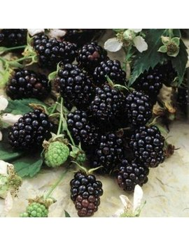 "Blackberry Plants ""Sweetie Pie"" Price Includes Four (4) Plants by Hello Organics"