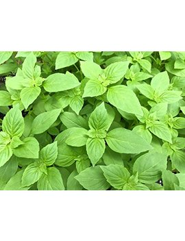 Four Types Of Basil Seeds   Cinnamon, Thai, Purple And Italian   Non Gmo (100 Seeds Each) by 5 Gallon Bucket Hydro