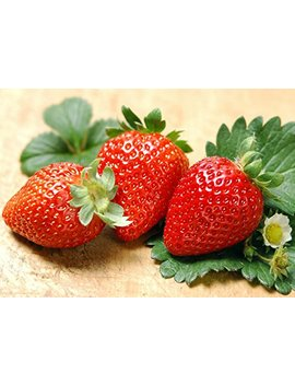 Albion Everbearing Strawberry 25 Bare Root Plants   New! Extra Large & Sweet by Hirt's Gardens