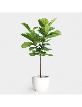 "Fiddle Leaf Fig Tree Makes A Great Houseplant Growing In A 6"" Pot Wpb Fl by Ebay Seller"