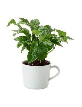 Coffea Arabica by Ikea