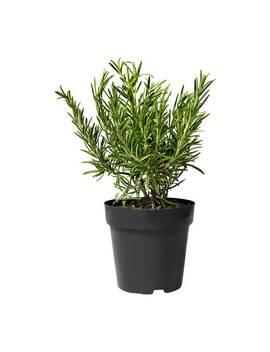 Rosmarinus Officinalis by Ikea