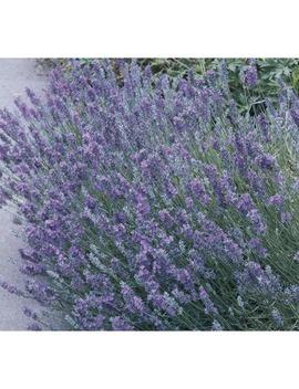 2.5 Quart English Lavender (L6071) by Lowe's