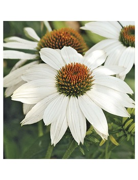 1 Quart Potted Pow Wow White Coneflower (L22170) by Lowe's