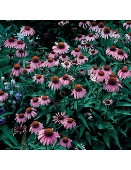 1.5 Gallon Potted Purple Coneflower (L5556) by Lowe's