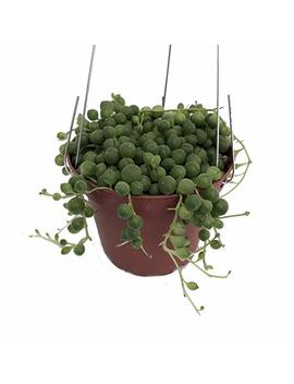 "String Of Pearls   Senecio Rowleyanus   Easy To Grow   4"" Hanging Pot by Hirt's Gardens"