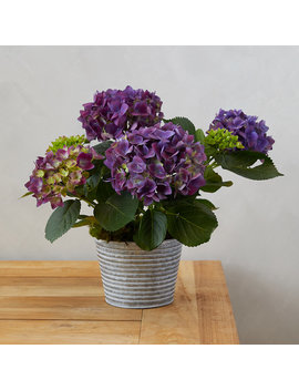 New Wine Hydrangea, Waved Metal Pot by Terrain