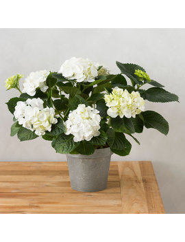 Large White Hydrangea, Metal Pot by Terrain