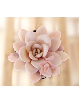 Echeveria Laui, 10 Seeds, Rare Succulent, Pink Succulent, Succulent by Walawala Studio