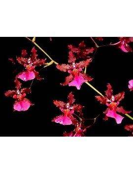 Sharry Baby 'red Fantasy' Chocolate Orchid   Large Seedling by Theorchidgallery