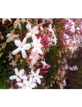 Jasminum Polyanthum   Pink Jasmine Vine Plant In Small Pot by Kauai Garden