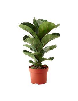Ficus Lyrata Bambino by Ikea
