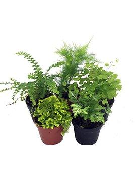 "Mini Ferns For Terrariums/Fairy Garden   5 Different Plants 2"" Pots by Hirt's Gardens"