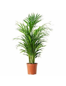 American Plant Exchange Areca Palm Indoor/Outdoor Live, 1 Gallon, Clean Air Of Toxins! by American Plant Exchange
