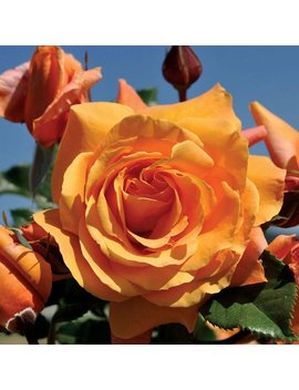 Arborose ® Tangerine Skies ™ Rose Bush Large Orange Flowers Climbing Rose Grown Organic Potted   Own Root Non Gmo Spring Shipping by Etsy