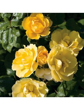 Tequila Gold™ Rose Bush  Bright Yellow Flowers All Summer Long   Grown Organic Potted Own Root Rose Bush by Etsy