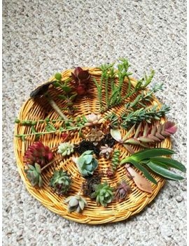 20 Assorted Succulent Cuttings Assorted Varieties by Ebay Seller