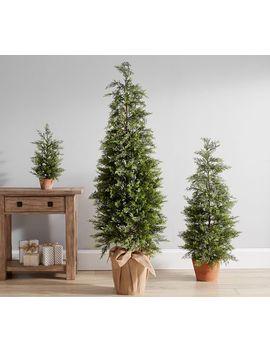Lit Juniper Trees by Pottery Barn