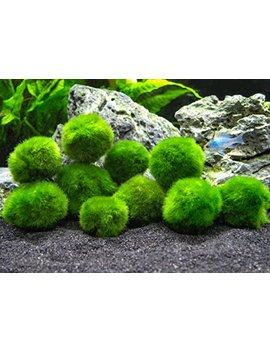 Aquatic Arts 10 Marimo Moss Balls   Aquarium Ball Set, 1 Inch Each. Unique Decor For Aquariums And Glass Jar Terrarium Kits. Natural Habitat/For Live Fish, Pet Shrimp, Sea Monkeys, And More by Aquatic Arts