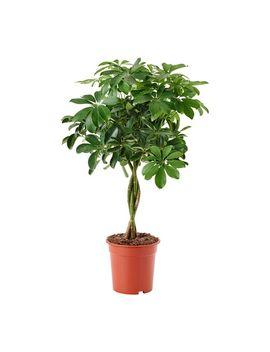 Schefflera Arboricola by Ikea
