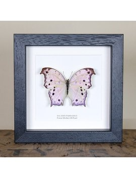 Forest Mother Of Pearl In Box Frame (Salamis Parhassus) Real Mounted Butterfly by Etsy