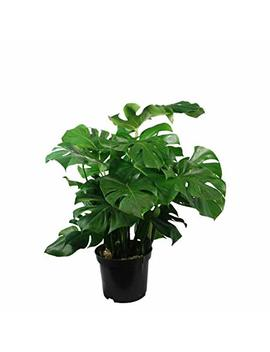 ~Windowleaf~ Monstera Deliciosa Philodendron Big Leafy Indoor Potted Nice Plant by 7 Heads