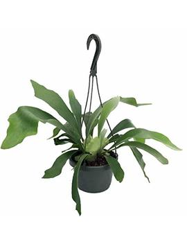 "Staghorn Fern 6.5"" Hanging Plant   Exotic House Plant by Hirt's Gardens"