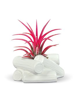 Fred 5229164 Fancy Ceramic Mini Air Plant/Succulent Holder, Campfire by Fred & Friends