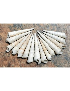 "White Turitella Seashells (15 Pcs.)   (2.5+"")   Turitella Terebra by Etsy"