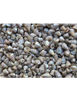 Tiny Venetian Pearl Seashells (Appx. 400 Pcs.) by Etsy