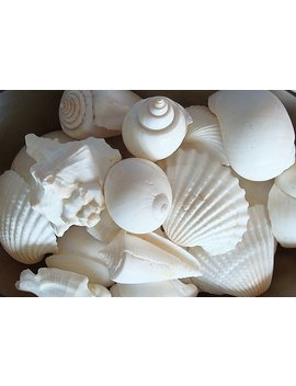 White Seashell Mix (12 15 Pcs.) by Etsy