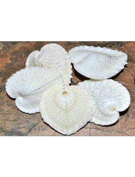 Heart Cockle 'true Heart' Seashells (5 Pcs.)   Corculum Cardissa by Etsy