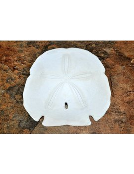 "Arrowhead Sand Dollar/Extra Large (5 6"")    Encope Michelini by Etsy"