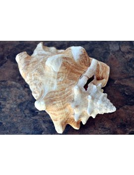 "Queen/Pink Conch   Slit Back (8"")   Strobus Gigas by Etsy"