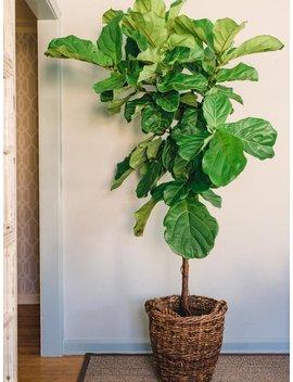 Fiddle Leaf Fig, Tree Form 3.5 To 4' Feet by Etsy