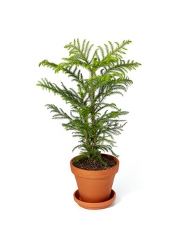 Tabletop Norfolk Pine by Bloomscape