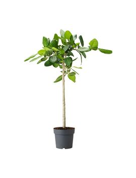 Ficus Benghalensis by Ikea
