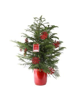 10in. Fresh Norfolk Island Pine In Red Decor Pot by Costa Farms