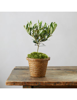 Olive Tree, Woven Grass Pot by Terrain