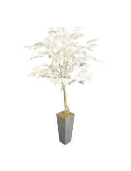 White Ficus Plant by At Home