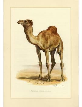 Camel Or Dromedary Vintage Lithograph From 1956 by Etsy