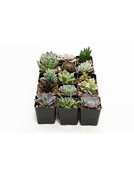 Jiimz 15 Different Mixed Succulent Spring Collection by Jiimz