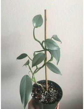 Philodendron Hastatum Glaucophyllum Silver Blue Sword Rare Aroid Houseplant Easy by Ebay Seller