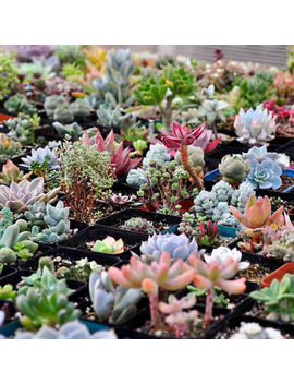 <Span><Span>Succulent Seeds Lithops Rare Living Stones Plants Cactus Home Plant 200 Seeds</Span></Span> by Ebay Seller