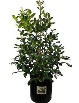 Nellie R. Stevens Holly Tree   Winter Berries   Live Plant   3 Gallon Pot by New Life Nursery & Garden
