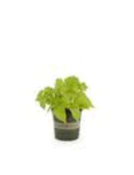 Monrovia 1 Pint Green Sweet Potato Vine In Pot (L9884) by Lowe's