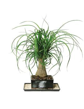 Ponytail Palm (Indoor) by Brussel's Bonsai