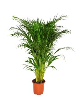 Areca Palm   21cm by Homebase