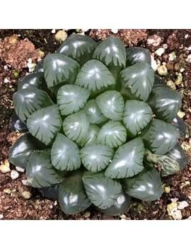 "Haworthia Cooperi Var Truncata Rare Live Indoor Or Outdoor Succulent Xeriscape Garden; 4"" by Etsy"