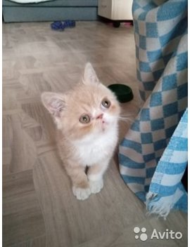 Котята экзотов by Avito
